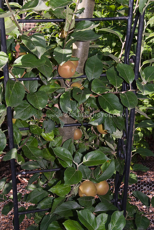 Apples King Russett growing on trellis