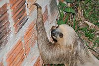 O bicho-preguiça<br /> caminha por quintal de uma casa.<br /> mamífero da Ordem Xenarthra,  Megalonychidae de dois dedos<br /> Foto Altino Machado.