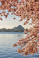 Cherry Blossoms Jefferson Memorial Washington DC<br /> Cherry Blossoms blooming around the Tidal Basin, National Mall , and US Capitol in Washington DC symbolize the natural beauty of our Nation's Capital City and has become part of Washington DC's rite of Spring.  Landmarks include the Jefferson Memorial, Washington Monument, and US Capitol.  A popular tourist attraction and travel destination for many visiting Washington DC.