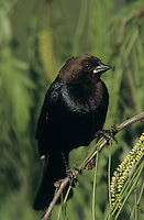 Brown-headed Cowbird, Molothrus ater, male, Welder Wildlife Refuge, Sinton, Texas, USA, June 2005