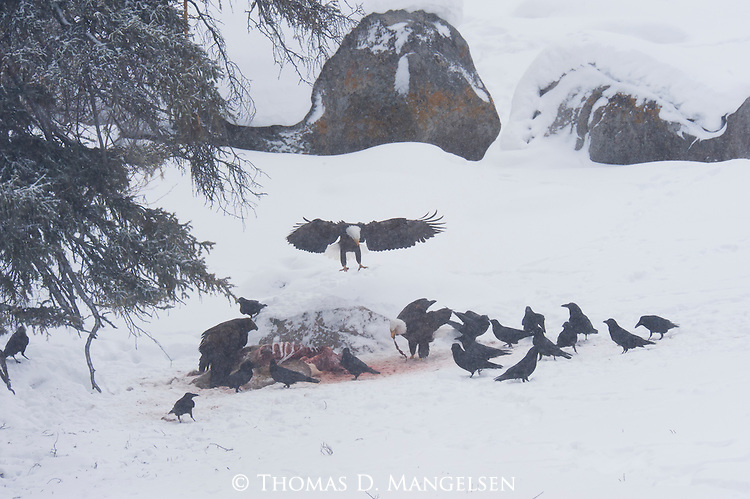 A bald eagle and a golden eagle scavenge a carcass in Yellowstone National Park, Wyoming.
