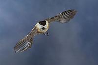 Weidenmeise, im Flug, Flugbild, fliegend, mit Vogelfutter im Schnabel, Weiden-Meise, Mönchsmeise, Mönchs-Meise, Meise, Parus montanus, Poecile montanus, willow tit, flight, flying, La Mésange boréale