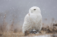 Immature male Snowy Owl (Bubo scandiacus). Ontario, Canada. January.