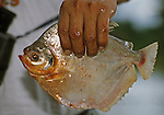 """Local Riberenos """"River people"""" fisherman holding one of his catch. Species of Amazonian Piranha similar in size to American Crappies."""