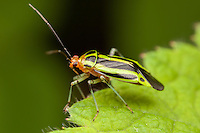 A Four-lined Plant Bug (Poecilocapsus lineatus) perches on the edge of a leaf.