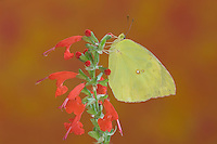 Southern Dogface, Colias cesonia, male on sage, Hill Country, Texas, USA