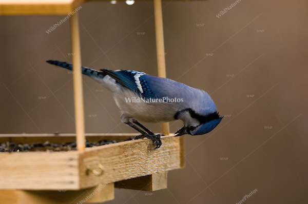 Blue Jay (Cyanocitta cristata) at feeder eating sunflower seeds
