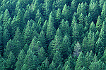 Evergreen forest close up along Highway 101 on the Olympic Penninsula Washington State USA.