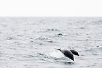 Northern Right Whale Dolphin (Lissodelphis borealis) mother and calf porpoising, Monterey Bay, California