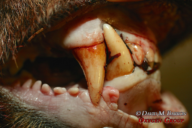 Dead Black Bear Teeth