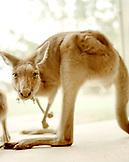 AUSTRALIA, Kangaroo portrait, Queensland