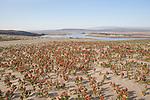 Hanford Reach National Monument, Columbia River, Wahluke Slope, sand dunes, Sand Dock, Rumex hymenosepalus, Columbia Basin, eastern Washington, Washington State, Pacific Northwest, USA, North America,
