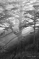 Sitka Spruce tree in morning fog, Oregon coast