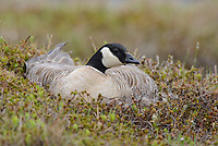 Female Cackling Goose (Branta hutchinsii minima) incubating eggs on the nest. Yukon Delta National Wildlife Refuge, Alaska. June.