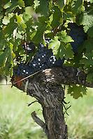 Europe/France/Aquitaine/33/Gironde/ Puisseguin:Vignoble AOC Puisseguin-Saint-Emilion  du Chateau de Puisseguin Curat