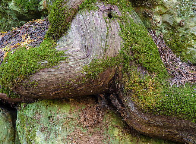 Cedar roots look like a runner jumping a hurdle on the kimestone wall of an ancient shoreline at Walt's Woods LandTrust Preserve in Door County, Wisconson
