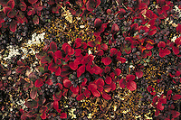 Bearberry and lichen in fall. Alaska USA Denali National Park.