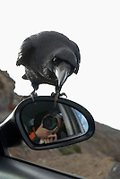 Spain, Canary Islands, La Palma, raven sitting on car's mirror waiting to be fed by tourists