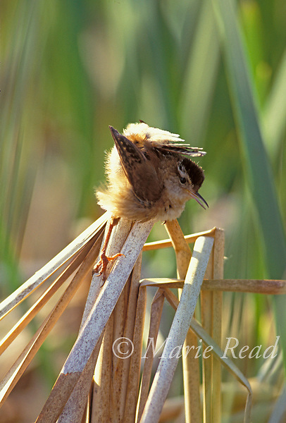 Marsh Wren (Cistothorus palustris) male performing courtship display in which he cocks his tail over his back and sways to and fro to impress the female, New York, USA<br /> Slide # B134-246