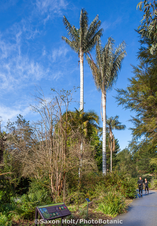Ceroxylon quindiuense, Andean Wax Palm trees  Chlean section of San Francisco Botanical Garden