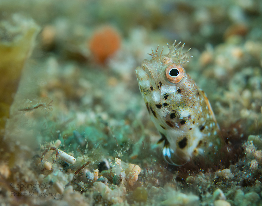 Macro of a Roughead Blenny.