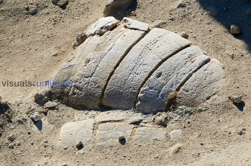 Fossil Turtle shell approximately 5 million years old, San Jose Island, Baja California, Mexico.