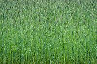Grass field.