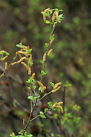 Strauch-Birke, Strauchbirke, Niedrige Birke, Betula humilis