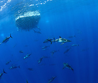 RM40306-D. Yellowfin Tuna (Thunnus albacores) and Silky Sharks (Carcharhinus falciformis) feeding on fish (juvenile Bigeye Jacks?) in baitball. Baja, Mexico, Pacific Ocean. <br /> Photo Copyright &copy; Brandon Cole. All rights reserved worldwide.  www.brandoncole.com