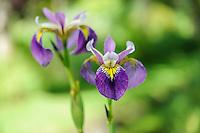 Iris pseudacorus x versicolor 'Regal Surprise'
