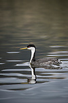 Lake Hodges, Escondido, San Diego, California; a Western Grebe (Aechmophorus occidentalis), with breeding plumage, reflects in the water's surface while swimming across Lake Hodges
