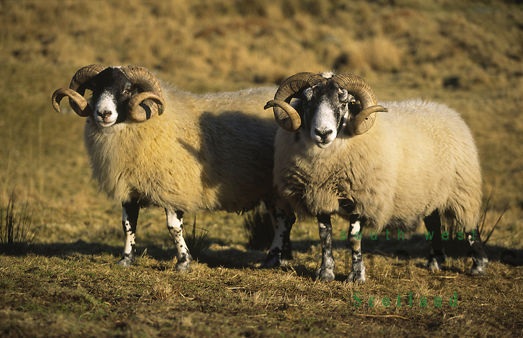 Agriculture sheep black faced rams looking to be fed at the Cairnsmore of Fleet Nature Reserve run by Scottish Natural Heritage SNH near Gatehouse of Fleet Scotland