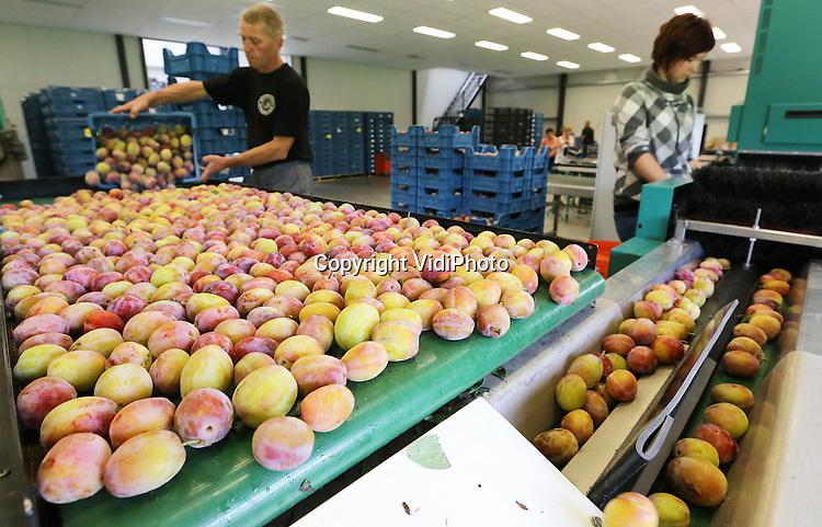 Foto: VidiPhoto<br /> <br /> LIENDEN - Poolse werknemers van Halm Fruit in het Betuwse Lienden sorteren maandag de Reine Victoria, een van de laatste pruimenrassen. De pruimenoogst is nog in volle gang, terwijl die normaal gesproken rond deze tijd moet zijn afgelopen. Het koude en natte voorjaar heeft voor de vertraging gezorgd. De vruchten zijn dankzij de lange en warme zomer en op tijd beregenen, flink groter dan andere jaren, evenals de productie. Het fruitteeltbedrijf van Halm levert direct aan de supermarkten van Albert Heijn en aan horecagroothandel Hanos.