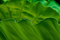 Curvy leaf edges are reminiscent of ocean waves.