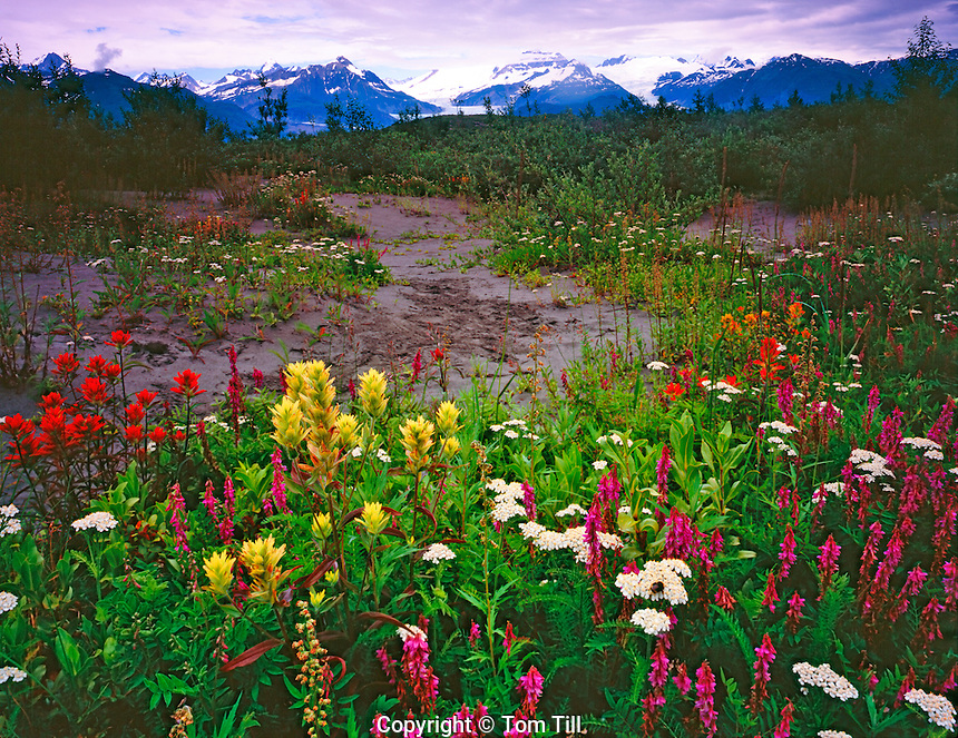 Wildflower Fields at Alsek Lake, Glacier Bay National Park and Preserve, Alaska