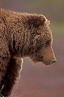 Grizzly Bear close-up, Denali National Park, Alaska