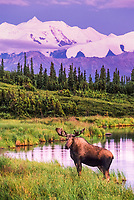 Bull moose feeds on vegetation in Wonder Lake, Denali National Park, Alaska