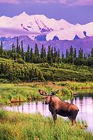 Bull moose feeds on vegetation in Wonder Lake, Denali National Park, Alaska