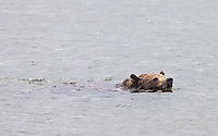 A grizzly bear in Yellowstone National Park.We were fortunate to see this grizzly bear swimming in Yellowstone Lake.