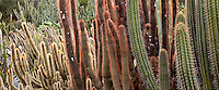 Red tinged columnar cactus, Lotusland drought tolerant garden, California