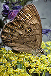 Eyed Brown Butterflies