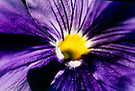 Closeup of the interior of a purple pansy.
