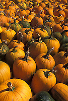 AJ4583, autumn, pumpkins, A large amount of orange and green pumpkins and gourds for sale.
