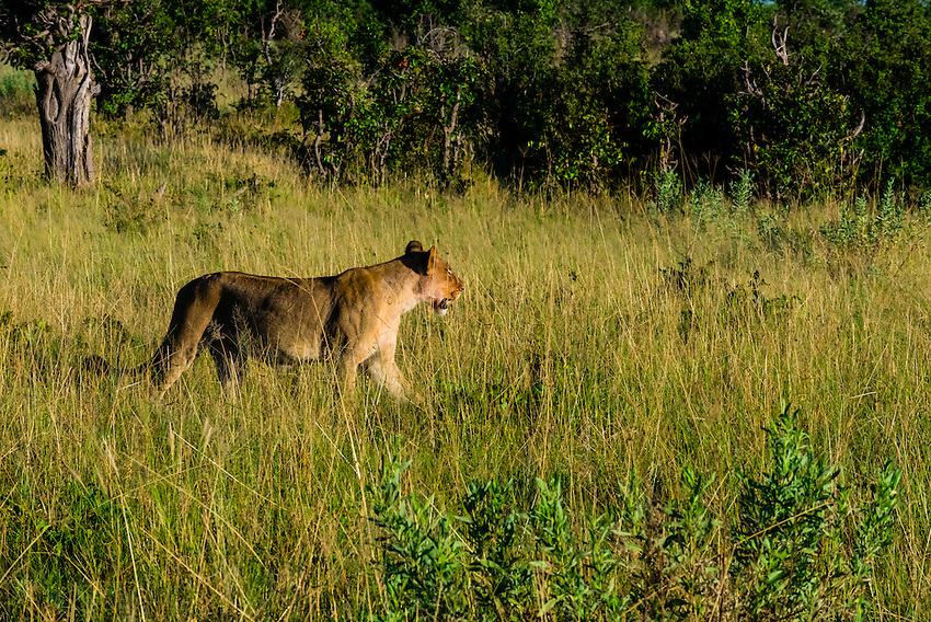 Lioness walking, Kwando Concession, Linyanti Marshes, Botswana.