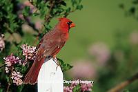 01530-16619 Northern Cardinal (Cardinalis cardinalis) male on picket fence near Dwarf Korean Lilac (Syringa meyeri 'Palibin')  IL
