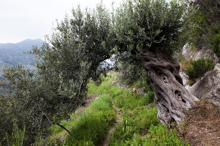 "An archway formed by an old olive tree in  ancient Hellenic city of Polyrinia, Crete. The place name means ""many sheep"" and it was the most fortified city in ancient Crete."