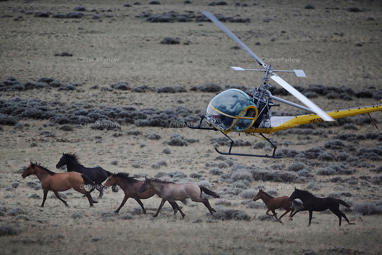 A helicopter herds mustangs toward a trap set to capture them. BLM gathered horses in Divide Basin off of Bar X Road.  They are trying to round up nearly 500 horses because of a lawsuit filed.<br />