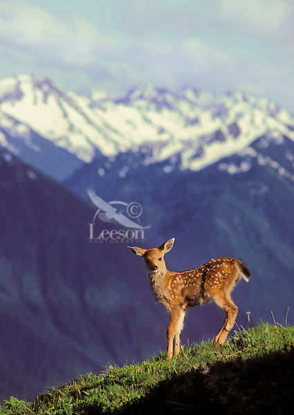 Black-tailed Deer fawn, five days old, on Hurricane Hill..Olympic National Park, Washington..Spring. (Odeocoileus hemionus).