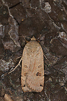 Schmalflügelige Bandeule, Schmalflüglige Bandeule, Graubraune Bandeule, Kleine Bandeule, Heckenkräuterflur-Bandeule, Trockenwald-Bandeule, Noctua orbona, Noctua subsequa, Lunar yellow underwing, Eulenfalter, Noctuidae, noctuid moths, noctuid moth