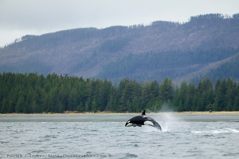 Orca, or Killer whale breaches in Port Gravina, Prince William Sound, Alaska. Killer whales are social animals that live in stable family-related groups, and travel the waters of Alaska's coast.